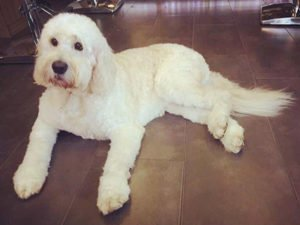 Dog Grooming Client at Short Bark and Sides Surrey 23