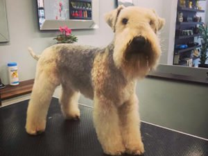 Dog Grooming Client at Short Bark and Sides Surrey 27