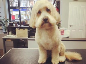 Dog Grooming Client at Short Bark and Sides Surrey 6